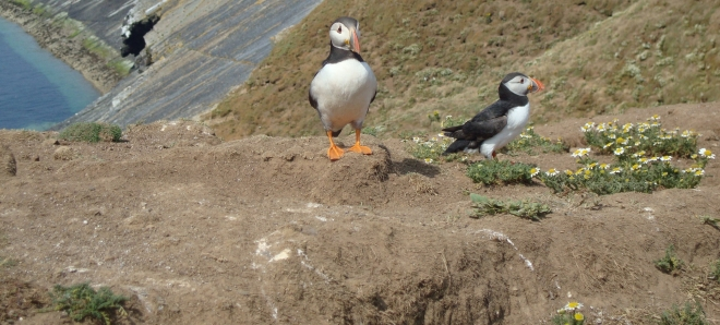 Puffins at the Wick on Skomer Island