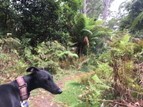 Pipit the whippet at Cabbage Tree Creek