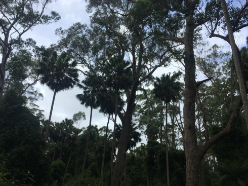 The main stand of Cabbage Tree Palms at Cabbage Tree Creek reserve