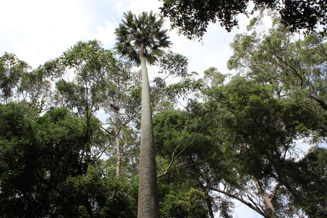 Cabbage tree palm at Cabbage Tree Creek