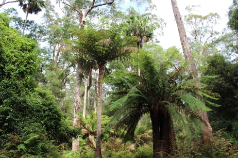 Tree ferns, eucalypts and Cabbage Tree Palm at Cabbage Tree Creek