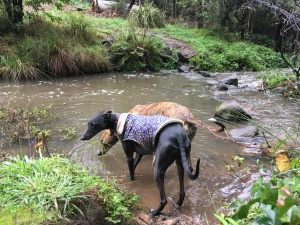 Two dogs wade in a stream