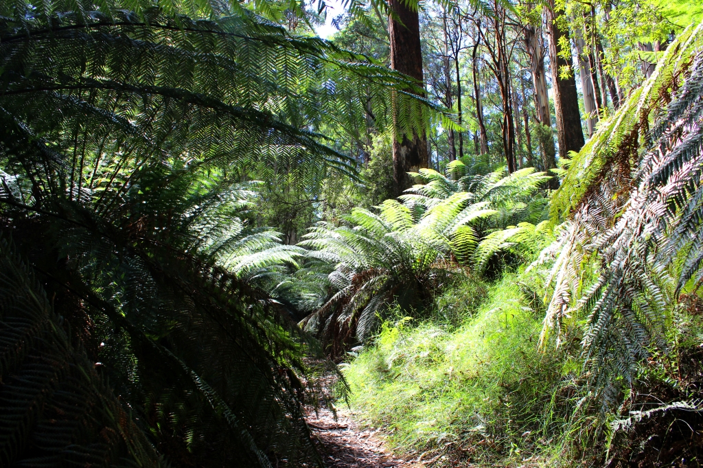 Tree ferns on the trail at the Myrtle Gully Circuit