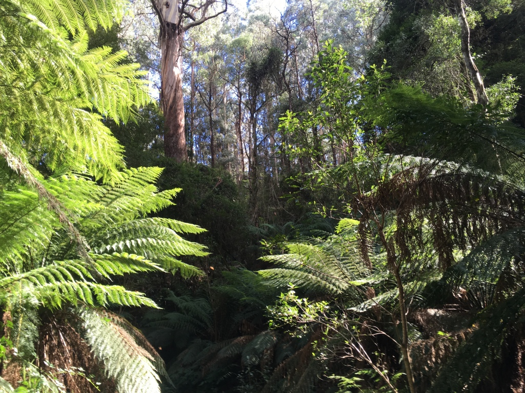Tree ferns and mountain ash