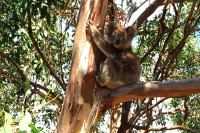 Koala in a Manna Gum tree on French Island