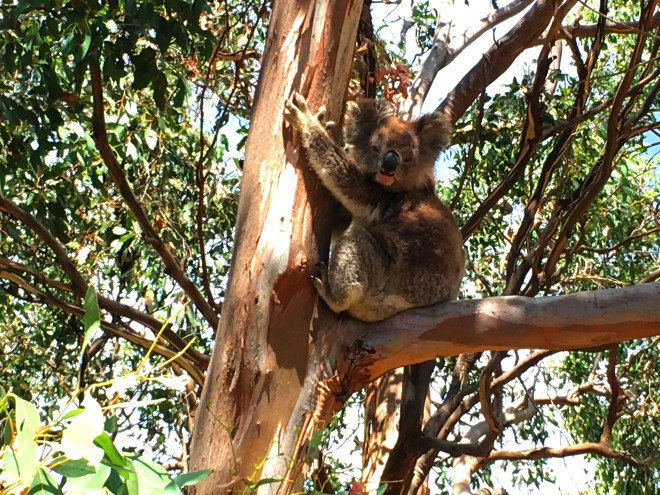 Koala in a Manna Gum tree on French Island